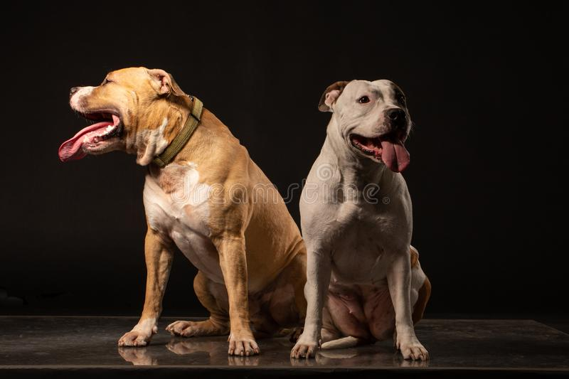 Two American Staffordshire Terrier Dogs Sitting together and touching paws on Isolated Black Background stock image