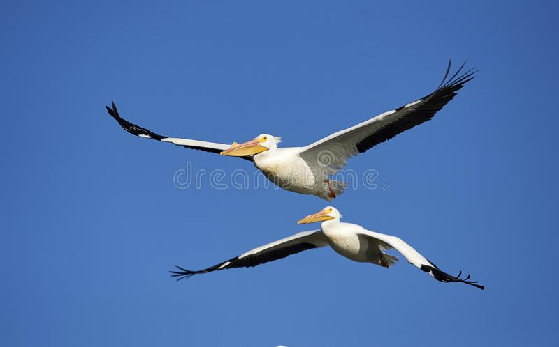 Two American White Pelicans flying against blue sky royalty free stock photography
