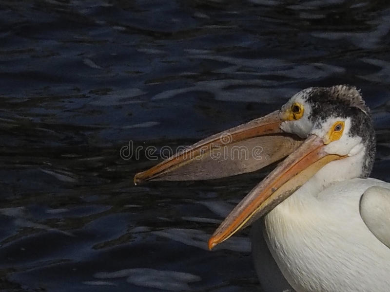 Two American white pelicans Montana stock images