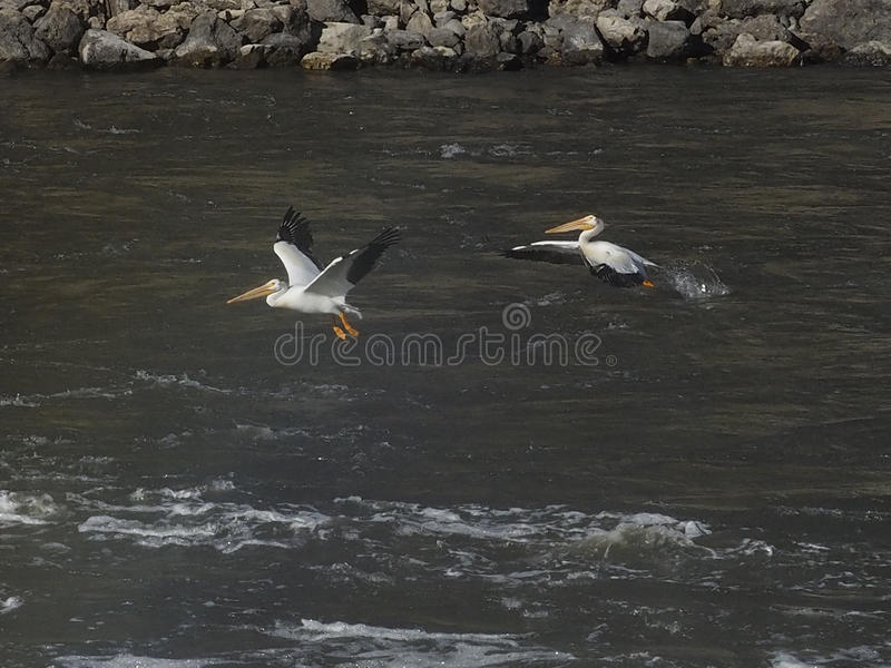 Two American white pelicans take flight royalty free stock photos