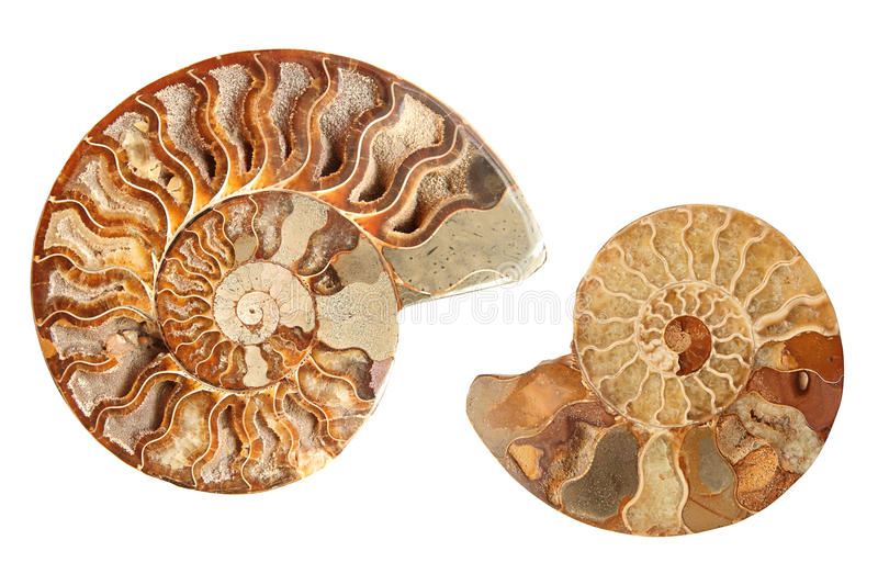 Download Two ammonites stock photo. Image of stone, beauty, marble - 22684198