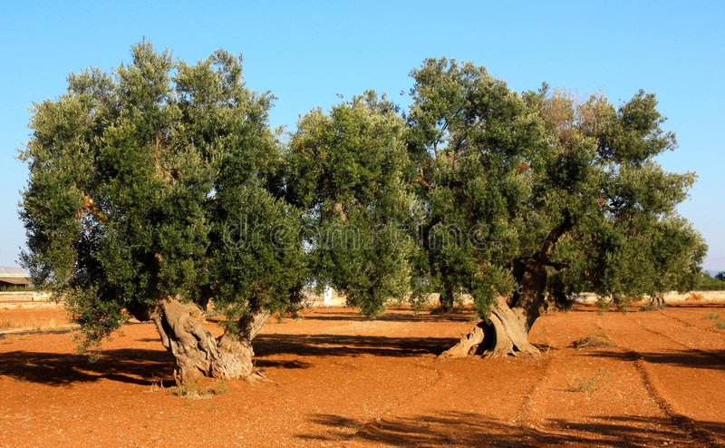 Two ancient olive trees in Italy royalty free stock photography