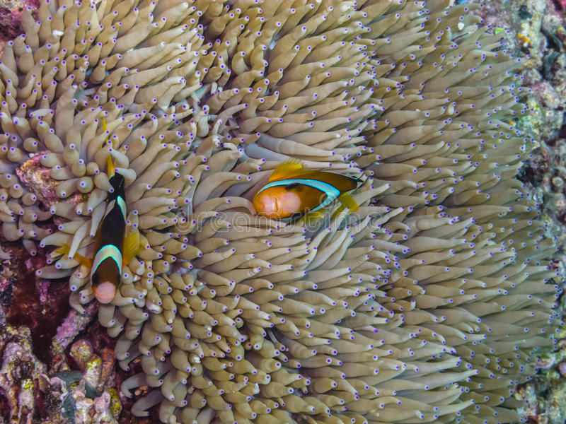 Two anemone fishes in indonesia. Two anemone fishes in the sea in indonesia royalty free stock photos