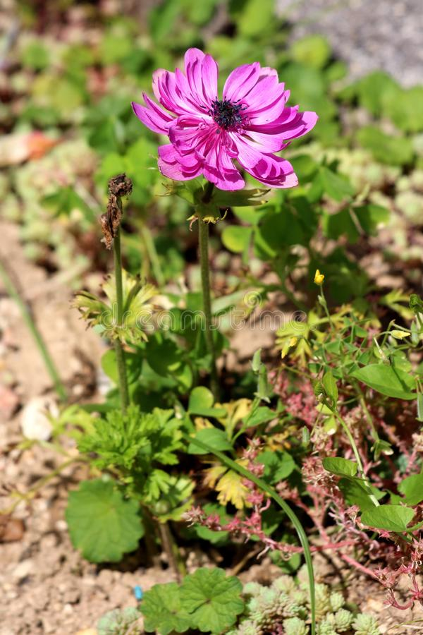 Two Anemone perennial plants with fully open blooming and fallen pink petals with dark black center planted in local urban garden. On warm sunny spring day royalty free stock photos