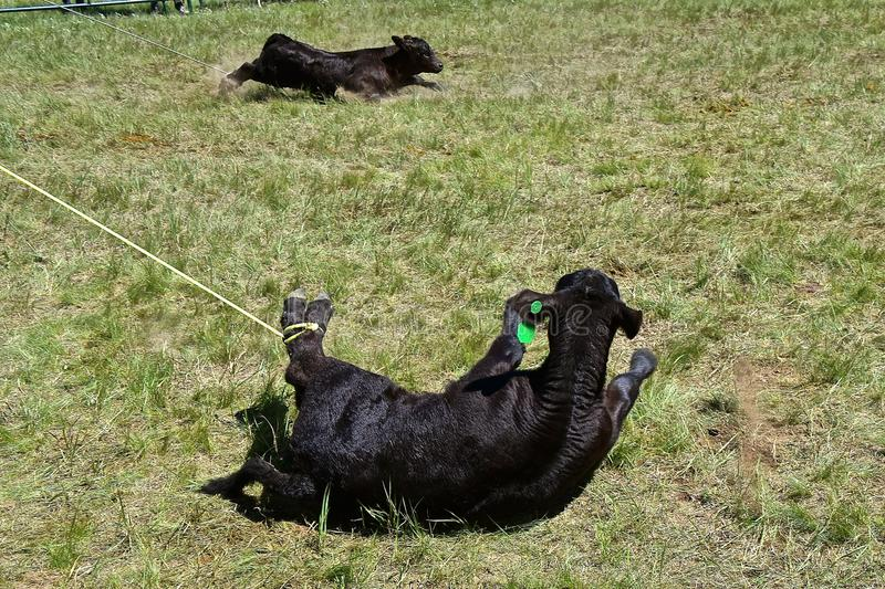 Two Angus calves lassoed during a roundup. The hind feet of two black Angus calves have been roped by a cowboy in the first step of branding and vaccinating royalty free stock photos