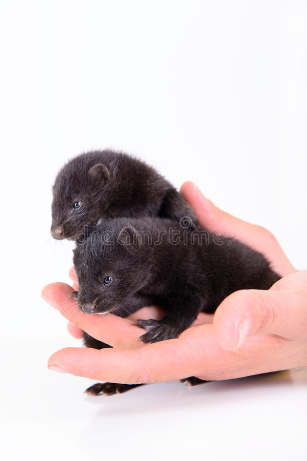 Download Two animal mink stock image. Image of fluffy, ferret - 32007535