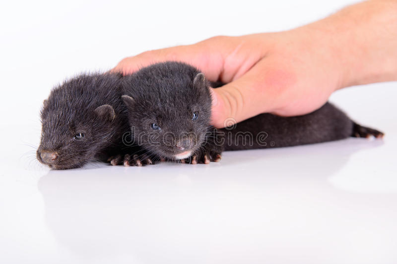 Download Two Animal Mink Stock Images - Image: 32007604