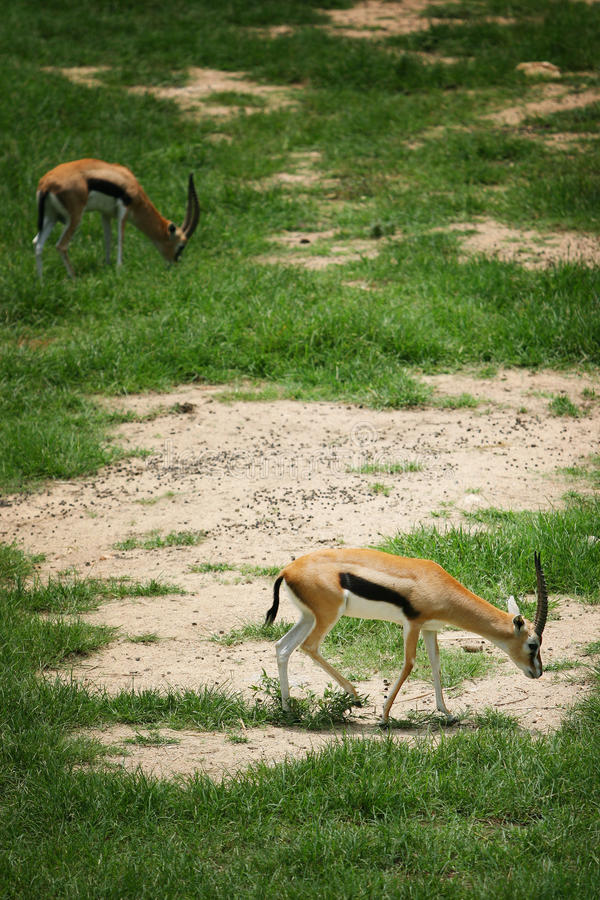 Two antelope eating grass on the floor.  royalty free stock photos