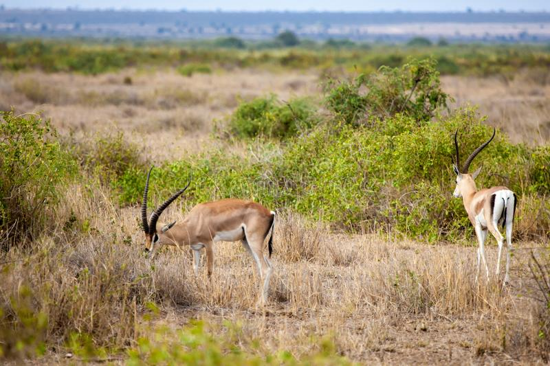 Two antelopes eating grass in the savannah of Kenya. Two antelopes with big horns eating grass in the savannah of Kenya royalty free stock image