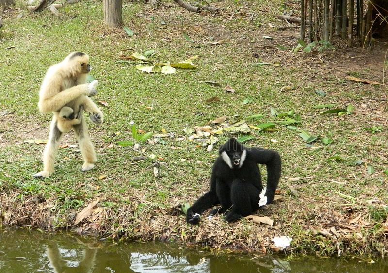 Two anthropoid apes Gibbon play on a small island. Two anthropoid monkeys Gibbon one black, the other yellow. They play on a small island royalty free stock photos