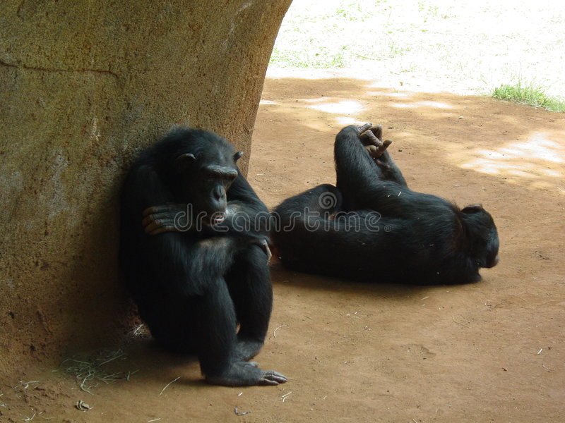 Two Apes royalty free stock photo
