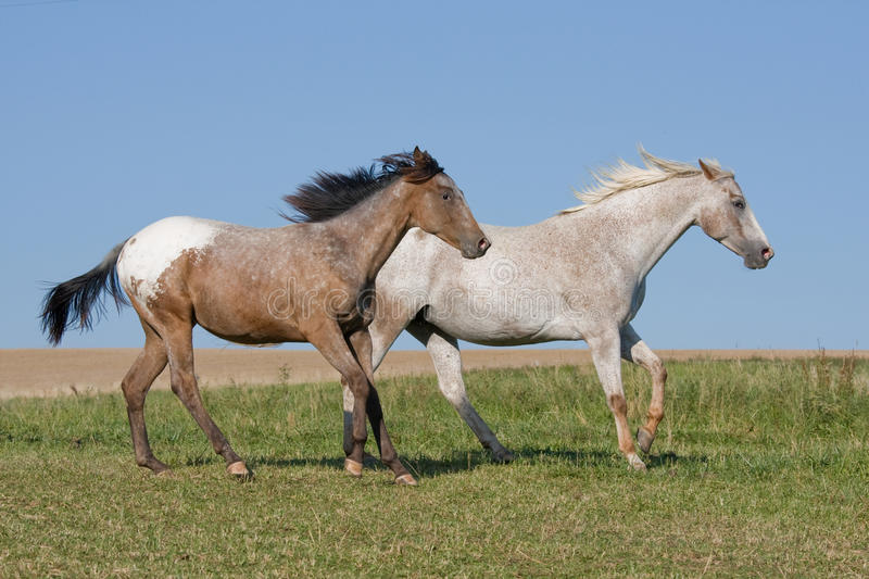 Two Appaloosa horses running on meadow stock image