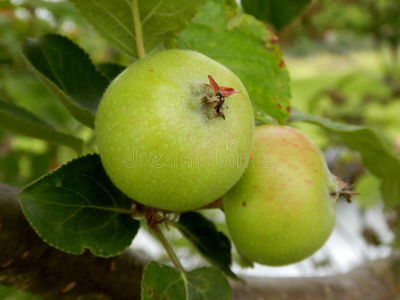Two apples growing on tree, green apple and leaves stock image