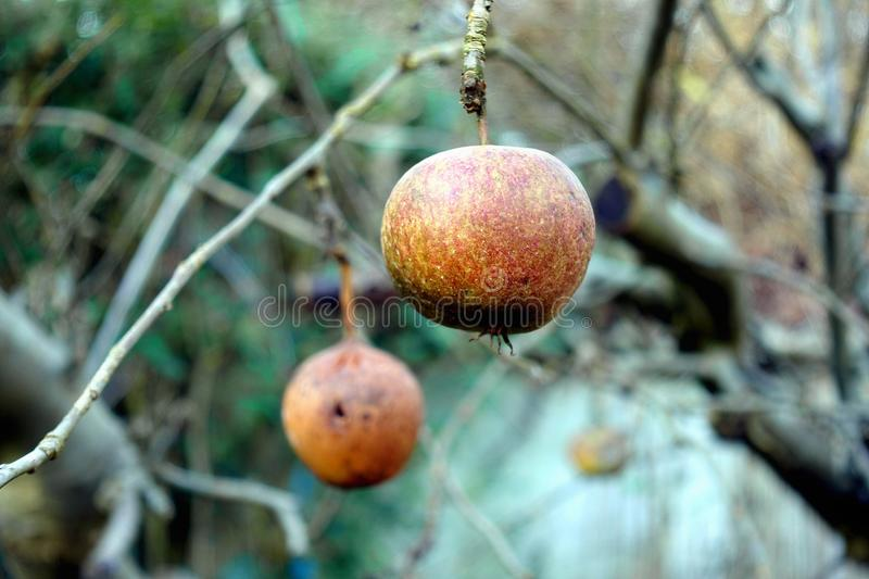 Two apples in various states of decay, left hanging on a leafless bare winter tree.  royalty free stock images