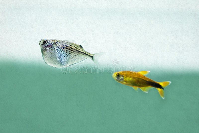Two aquarium fishes. Silver and gold fish. Vintage paper back stock photo