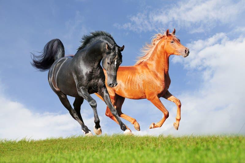 Download Two Arabian Horses Stock Image - Image: 29261451
