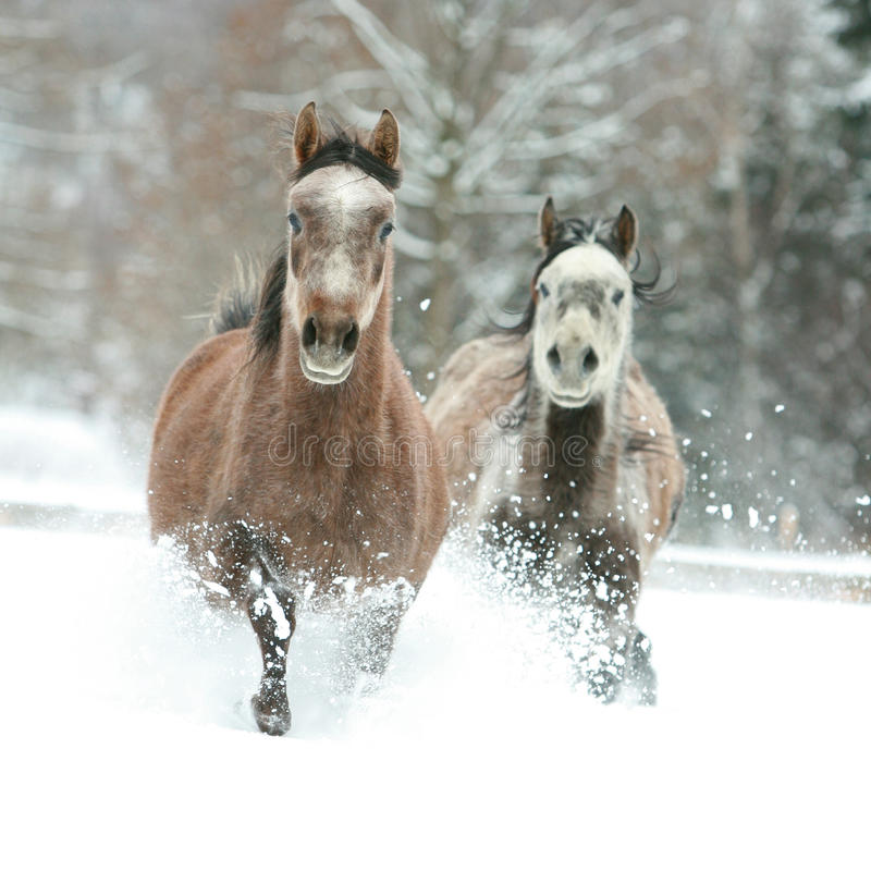 Two Arabian Horses Running Together In The Snow Stock Photo