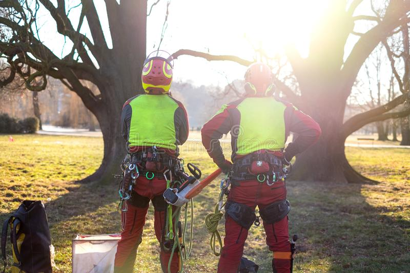 Two arborist men standing against two big trees. The worker with helmet working at height on the trees. Lumberjack working with ch stock images