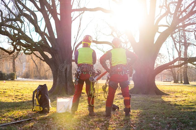 Two arborist men standing against two big trees. The worker with helmet working at height on the trees. Lumberjack working with ch stock photo