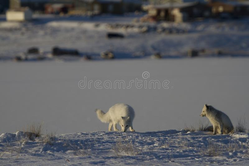 Two Arctic foxes playing and hunting near a den in spring royalty free stock image