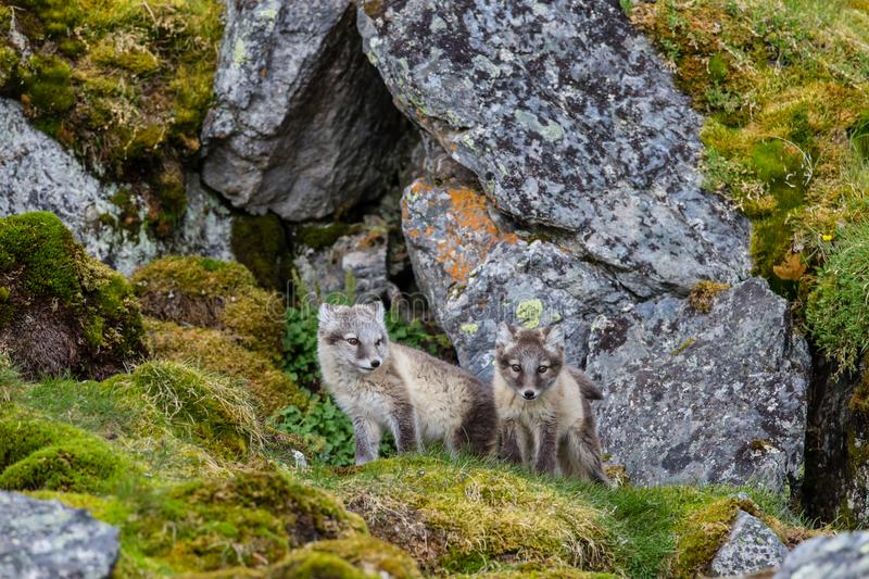 Two arctic foxes sits on the green grass near the hole. Two arctic foxes sits on the green grass near their hole in a rock covered with green and yellow mosses royalty free stock photography