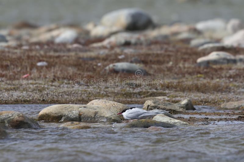 Two Arctic terns hiding behind rocks from strong winds, near Arviat. Two Arctic Tern, Sterna paradisaea, hiding behind rocks from strong winds, near Arviat stock photo