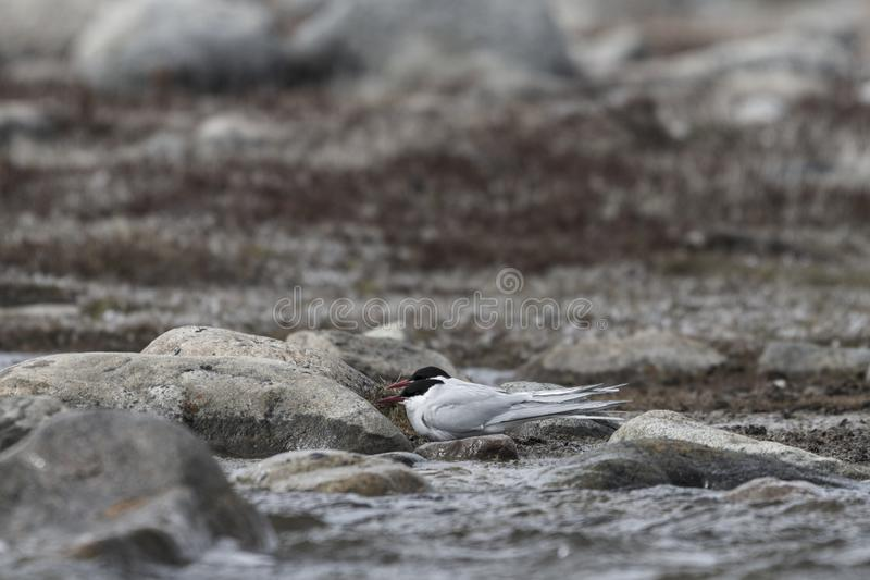Two Arctic terns hiding behind rocks from strong winds, near Arviat. Two Arctic terns, Sterna paradisaea, hiding behind rocks from strong winds, near Arviat royalty free stock image