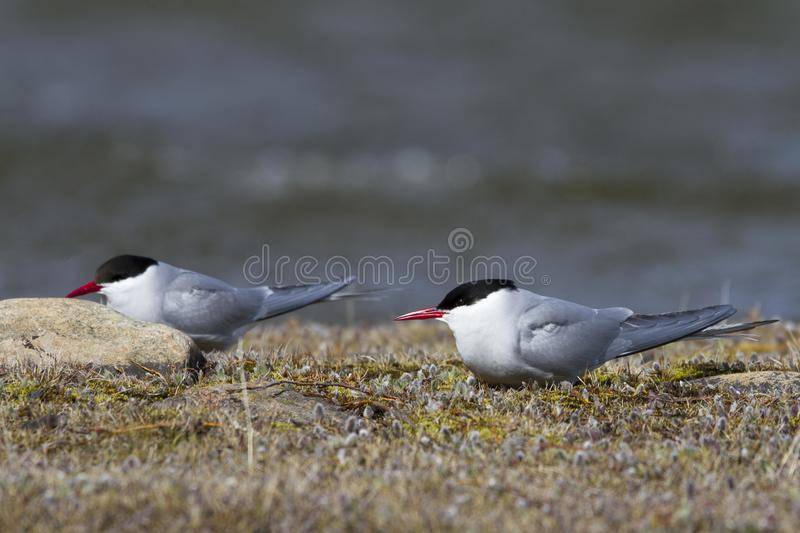 Two Arctic terns sitting on the arctic tundra and looking around, near Arviat. Two Arctic terns, Sterna paradisaea, sitting on the arctic tundra and looking royalty free stock images