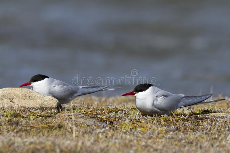 Two Arctic terns sitting on the arctic tundra and looking around, near Arviat. Two Arctic terns, Sterna paradisaea, sitting on the arctic tundra and looking royalty free stock photography