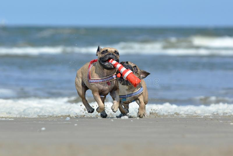Two athletic fawn French Bulldog dogs playing fetch at the beach with a maritime dog toy stock images