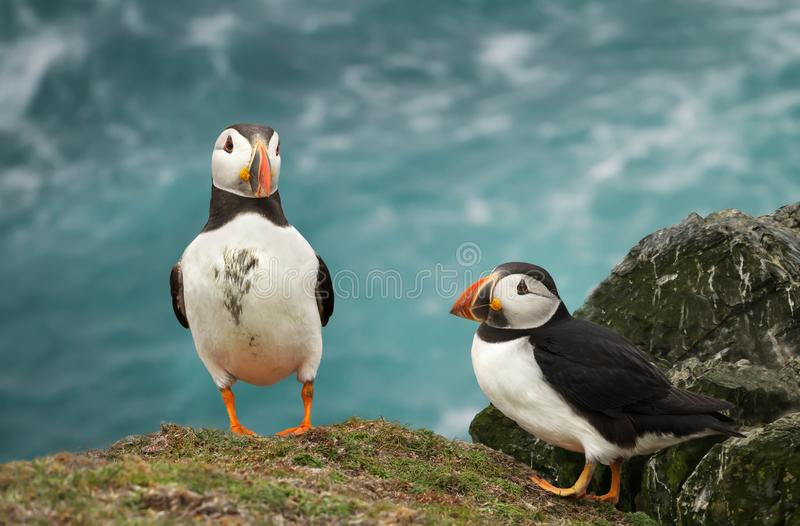 Two Atlantic puffins standing on a cliff top royalty free stock images