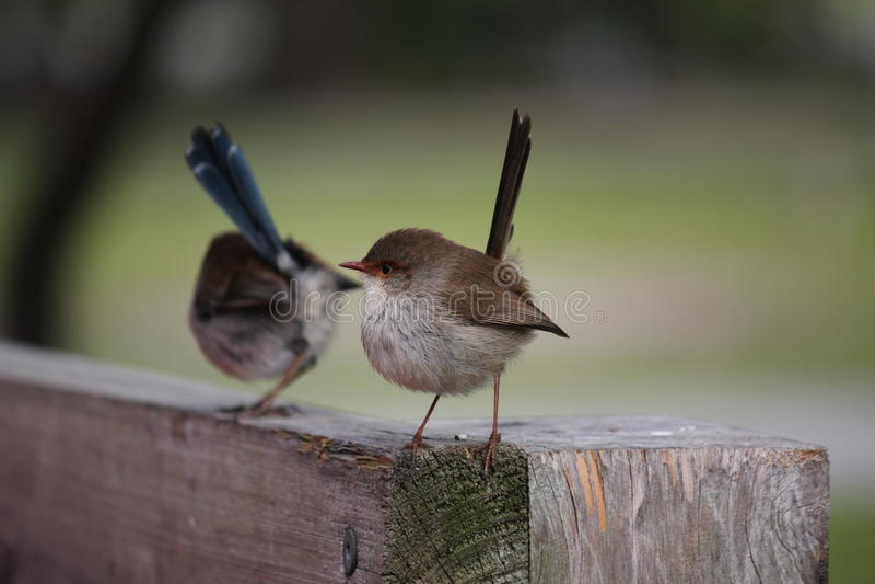 Two Australian Fairy Wrens stock image