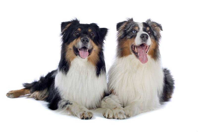 Two Australian Shepherd dogs royalty free stock images