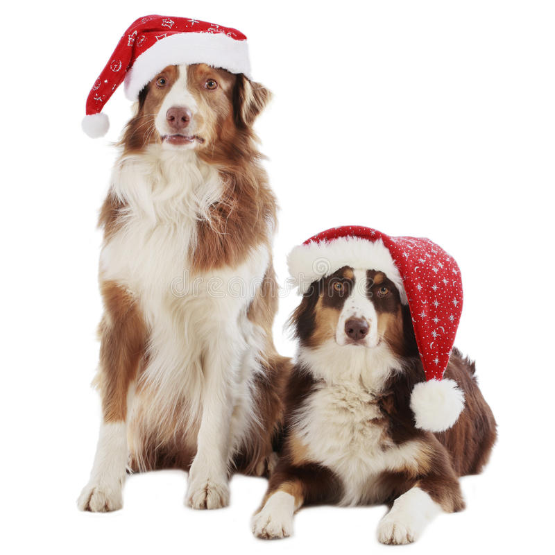 Two australian shepherd dogs on christmas. Isolated royalty free stock photos