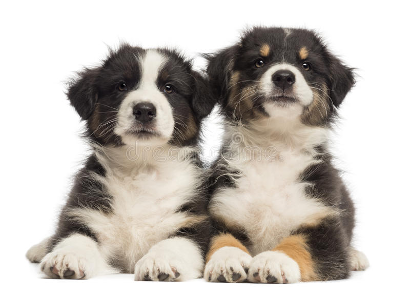 Two Australian Shepherd puppies, 2 months old. Lying against white background royalty free stock photography