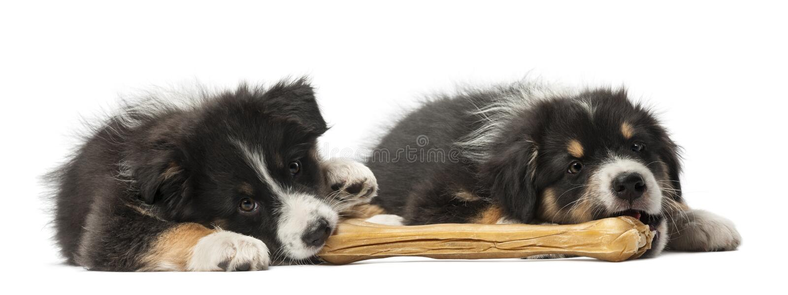 Two Australian Shepherd puppies, 2 months old. Lying and eating knuckle bone against white background stock images