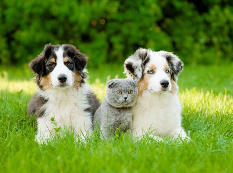 Two Australian shepherd puppies and scottish cat lying on green. Grass royalty free stock photo