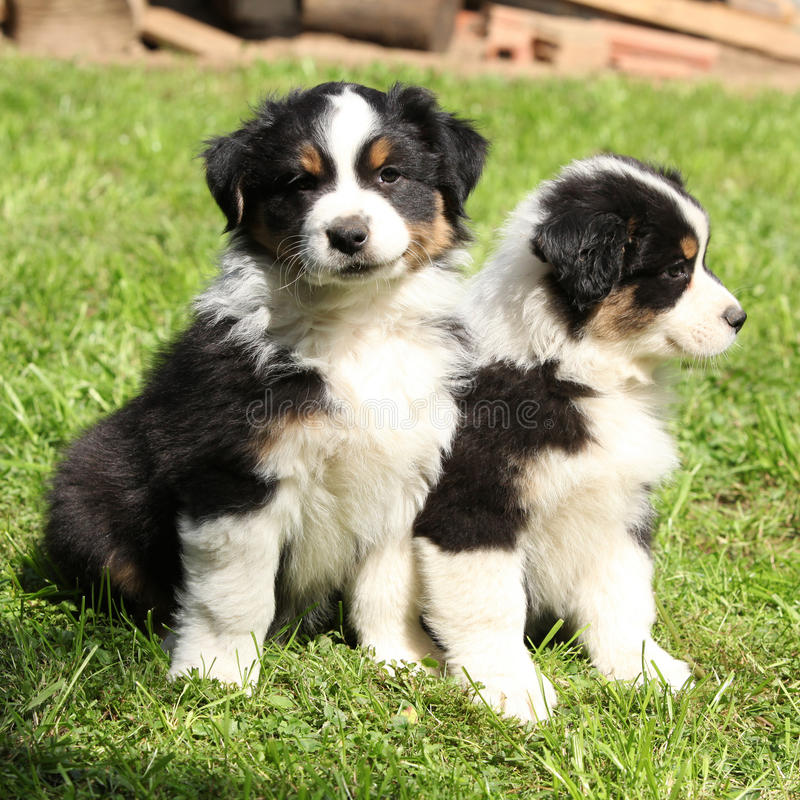 Two australian shepherd puppies together. In the garden royalty free stock photo