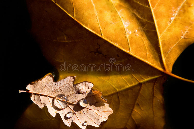 Two autumn leaves, maple and oak, floating in the water stock photos