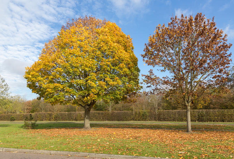 Two autumnal trees on a bright sunny day stock photos