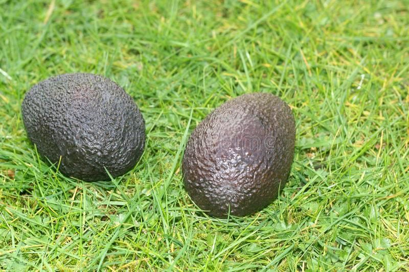 Two avocadoes on a background of grass. Two avocadoes, on a green lawn background in the garden stock photos