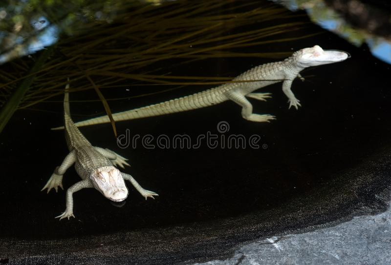 Baby albino alligators in water. Two baby albino alligators in pond waiting for meal royalty free stock photo