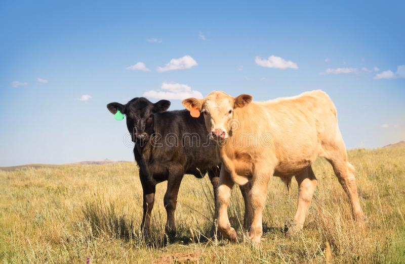 Two Baby Beef Calves Standing Together in a Summer Pasture. A cute little Palomino Charolais crossbred calf and a black Angus calf standing out in a summer stock photo