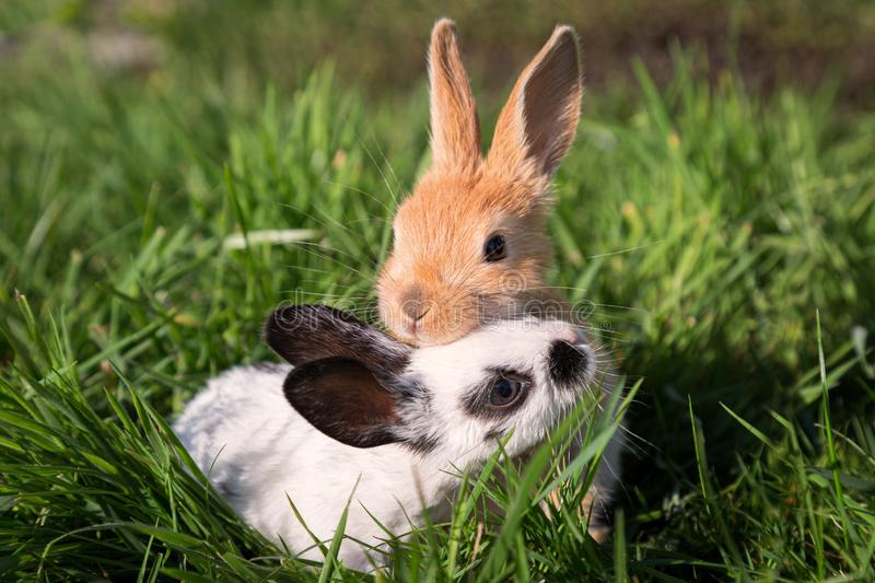 Two Baby Bunnies Playing on Green Grass royalty free stock images