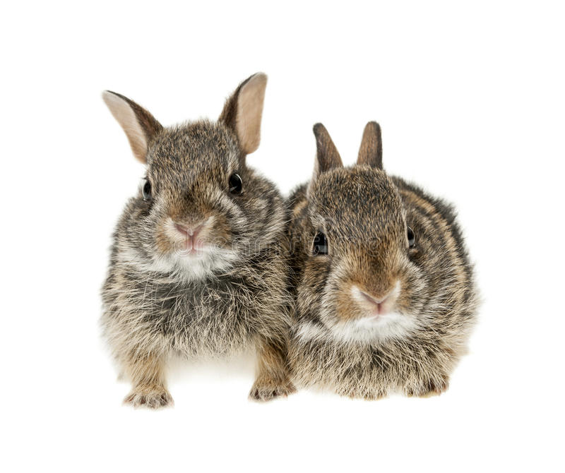 Two baby bunny rabbits. Portrait of two baby wild cottontail rabbits isolated on white background stock image