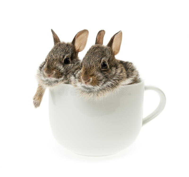 Two baby cottontail bunny rabbits in cup. Two baby wild cottontail rabbits in coffee mug on white background royalty free stock photo