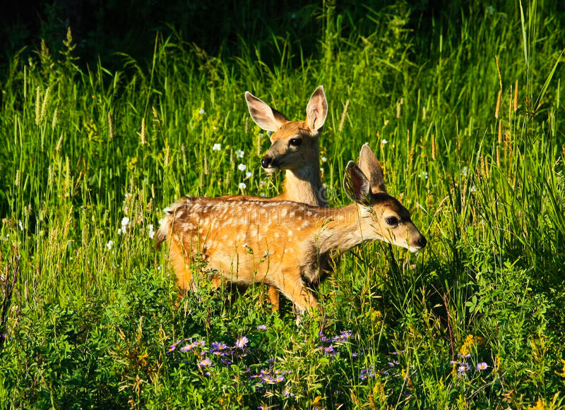 Download Two Baby Deer In Forest, Yellowstone Wyoming Stock Photo - Image: 20807650