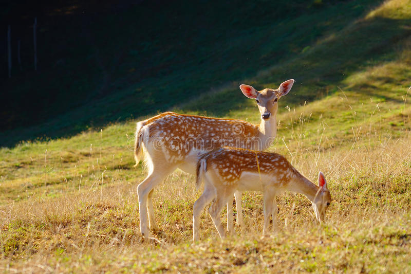 Download Two Baby Deers Stock Photography - Image: 32270692