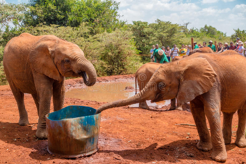 Two Baby Elephants drinking water. Two orphaned baby elephants drinking water at the David Sheldrick Wildlife Trust, a park that takes cares of orphaned baby royalty free stock images