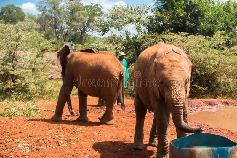 Two Baby Elephants. An orphaned baby elephant drinks water out of a tank at the David Sheldrick Wildlife Trust, a park that takes cares of orphaned baby royalty free stock photos